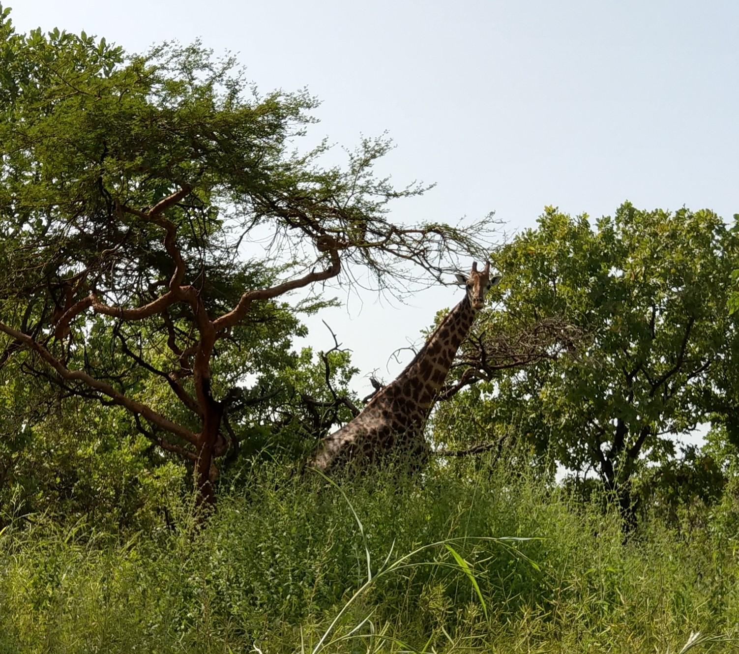 Fathala - Giraffe